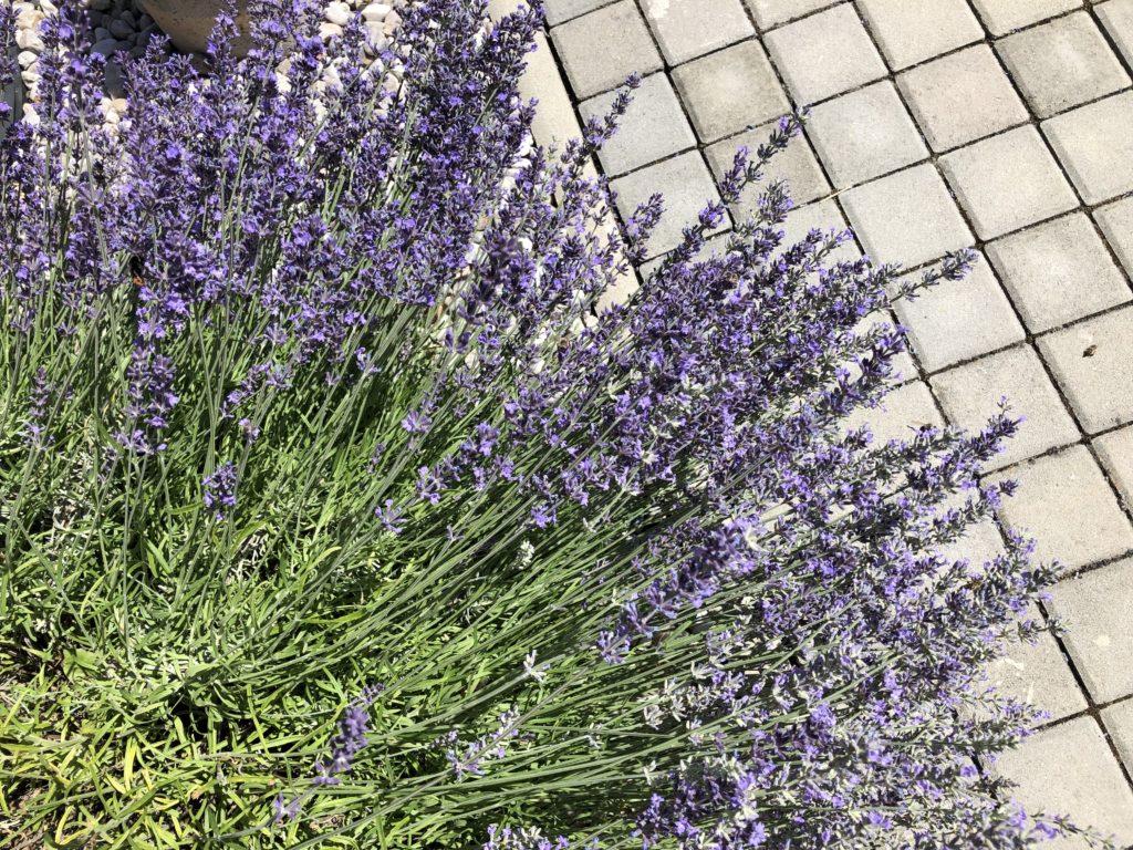kvetoucí levandule, včely a čmeláci na levanduli, levandule se zámkovou dlažbou v pozadí