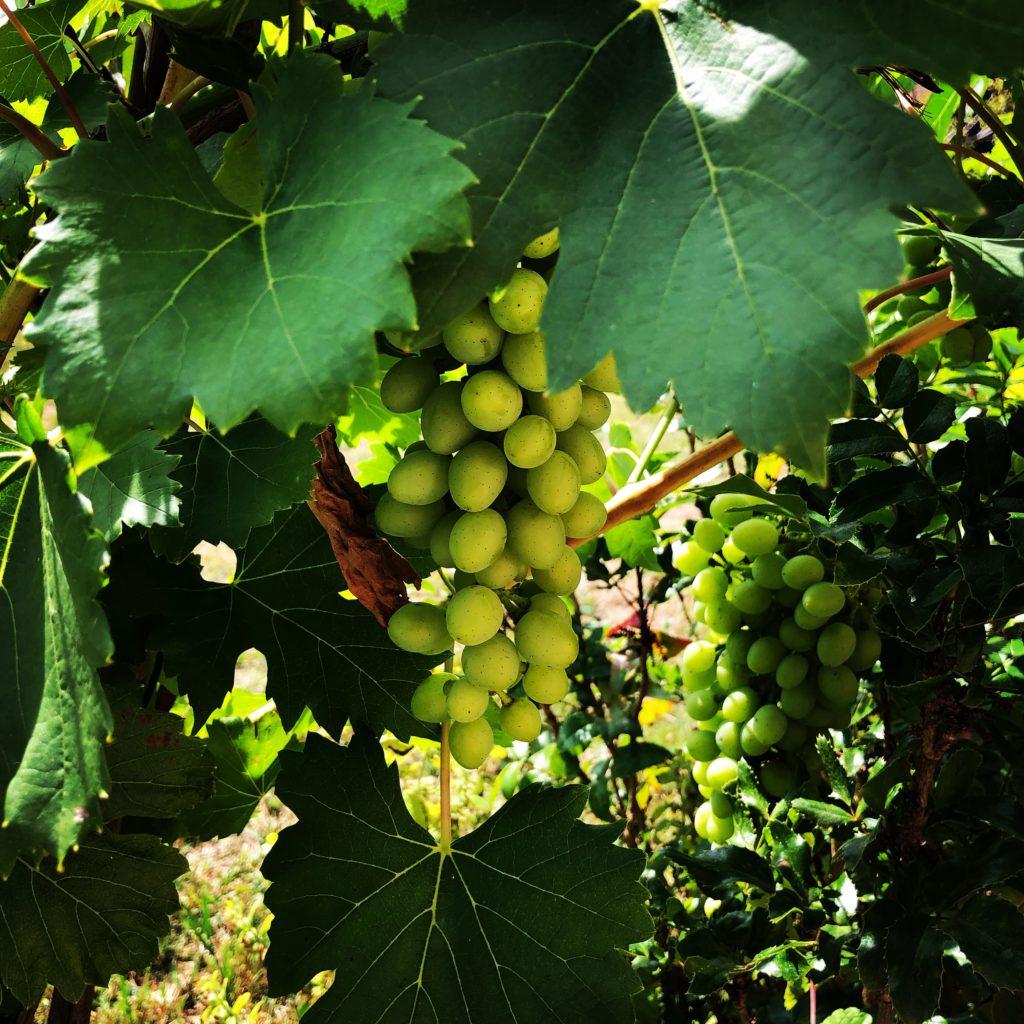 hrozen vína, zelený hrozen, bílé víno zrající na vinné révě mezi zelenými listy vinné révy, zraji jako víno
