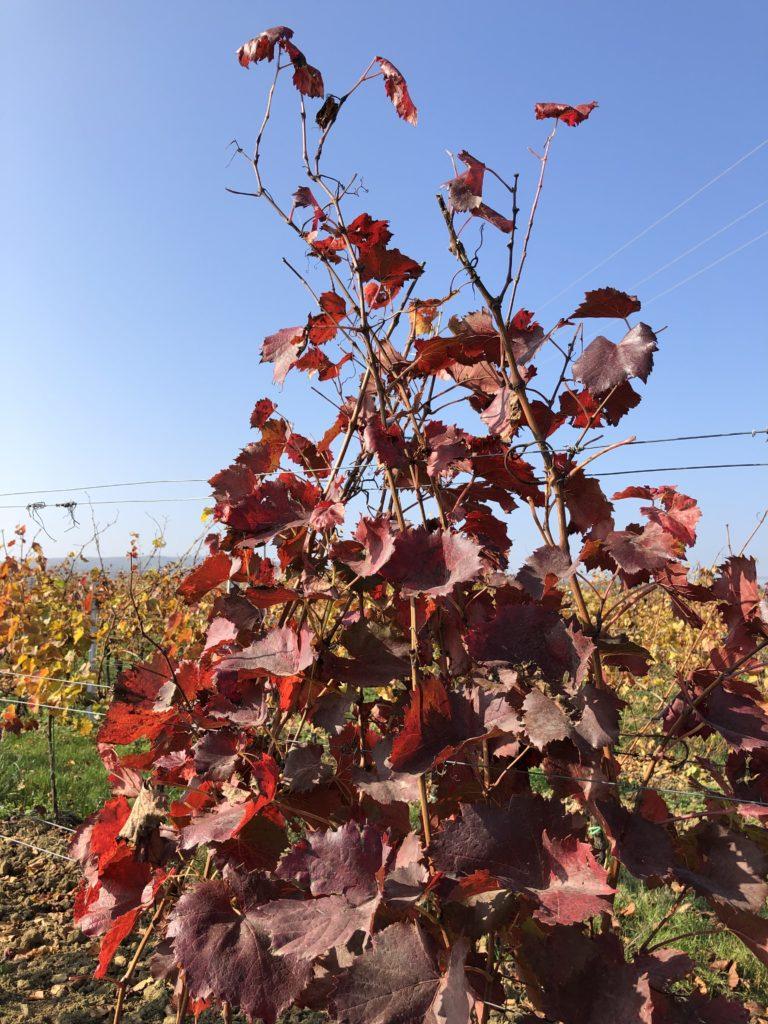 vinná réva s červenými listy na vinici, podzim na vinici s modrou oblohou za slunečného počasí