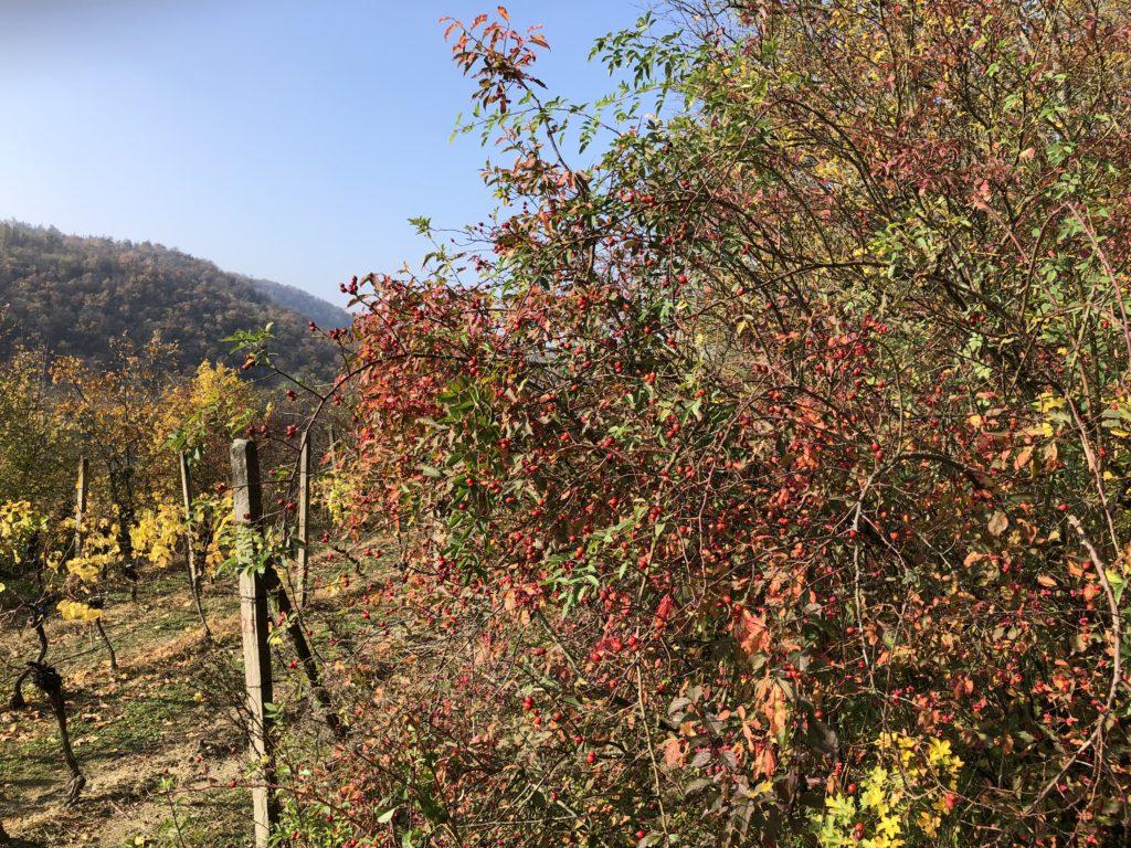 Podzimní šípkový keř nad vinicí při slunečném počasí
