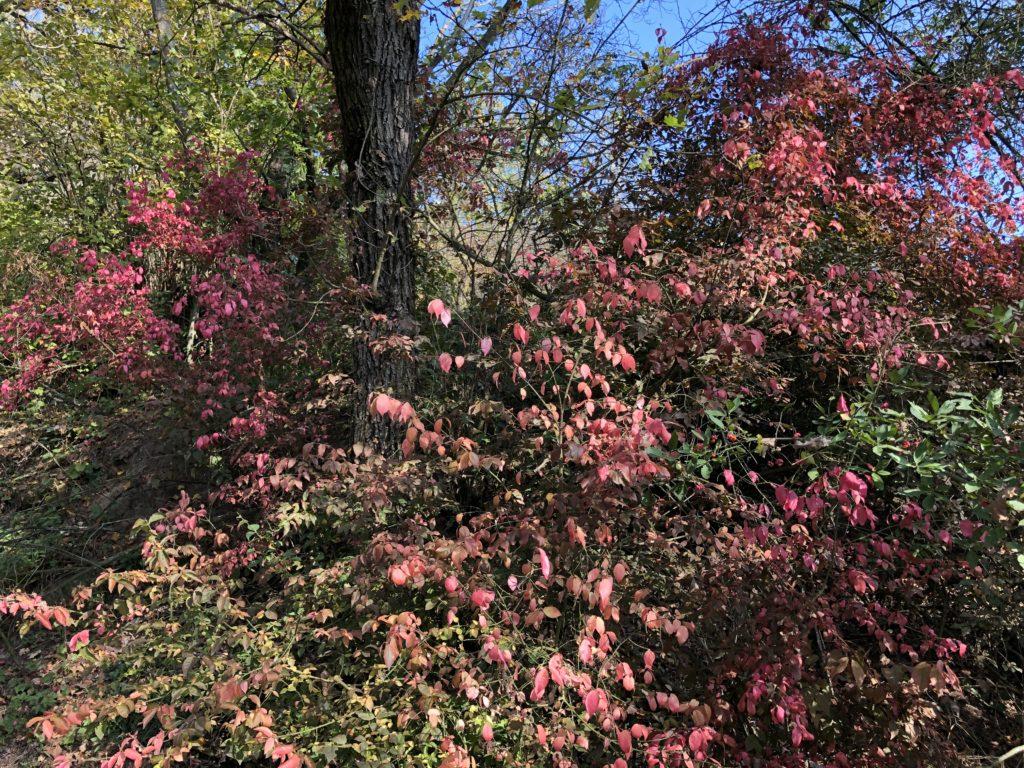 podzimní fotografie, podzimní keř s barevnými červenými listy při slunečném počasí